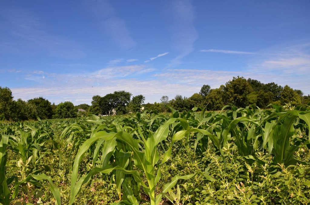 Corn from the farm's first planting on June 12 is already two feet high.