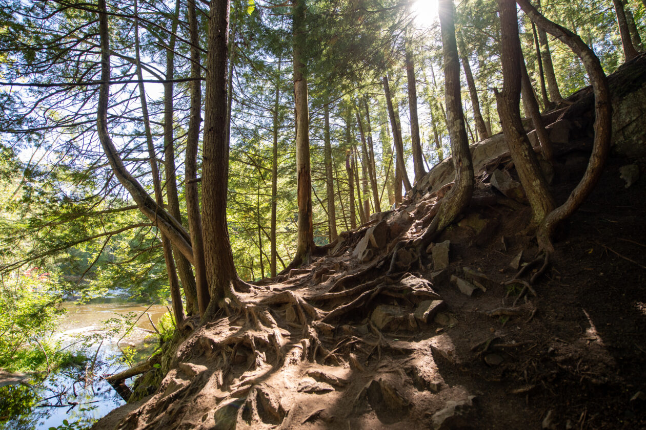 A bunch of trees grow on a cliff in the U.P., their roots revealed