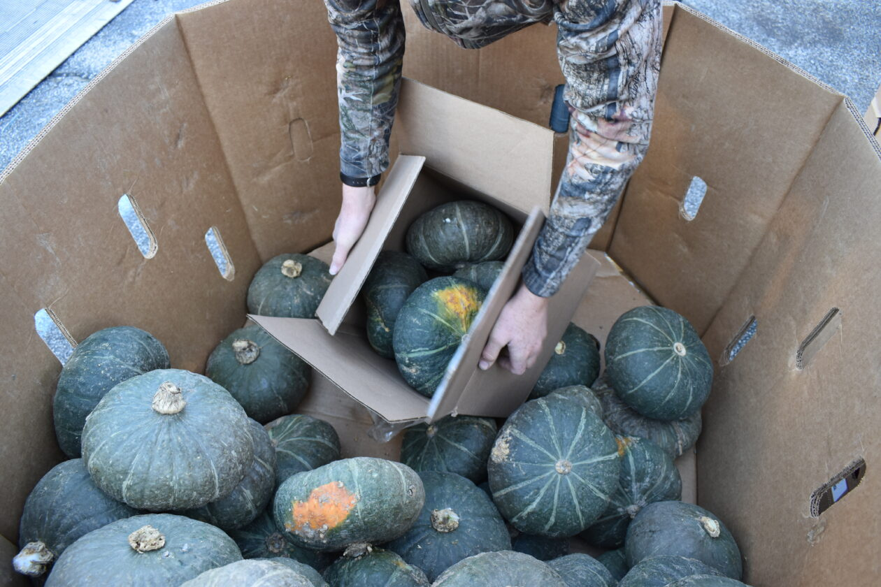 A volunteer picks up buttercup squash